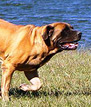 mastiff breeders